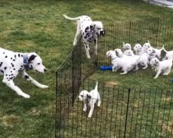 What They Caught The Dalmatians Doing With Their Puppies Is TOO Cute!