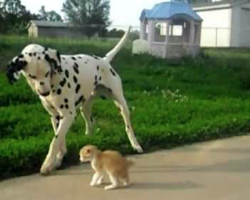 Dalmatian makes a new friend