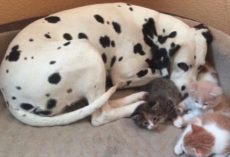 This Dalmatian Just Became A Mom — But Not In The Way That You Think
