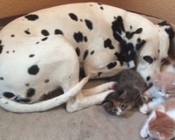 Dalmatian Couple Adopts Five Foster Five Kittens