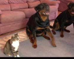 Man Asks His Dogs To Roll Over, Prompting This Clever Cat To Do The Same Thing