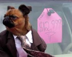 Tiny Dog In Suit Is The Perfect Used Car Salesman