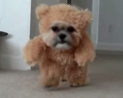 This Looks Like A Teddy Bear From A Distance. Then It Started Walking. Oh My, How Adorable!