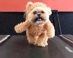 When Munchkin The Shih Tzu Gets Her Exercise Wearing The Cutest Outfit, It's The Best