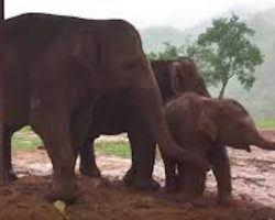 Three Elephants Try To Coax Baby To Go To Sleep
