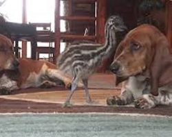 Baby Emu Loves Playing With Basset Hounds