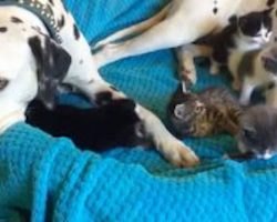 Foster Kittens Completely Invade Dalmatians' Bed