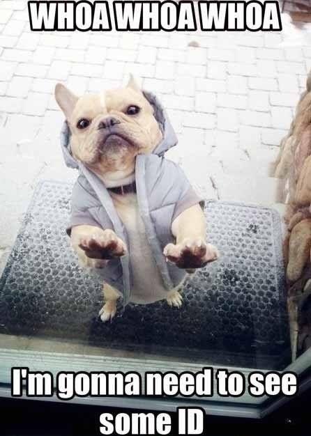 french bulldog funny meme