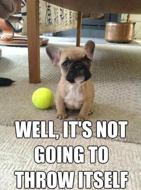 french bulldog funny