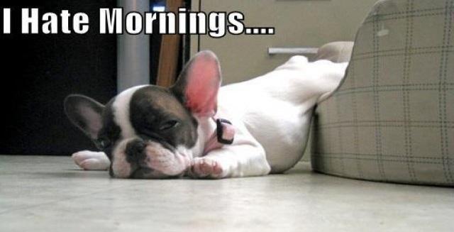 french bulldog morning