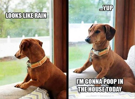funny dachshund meme photo