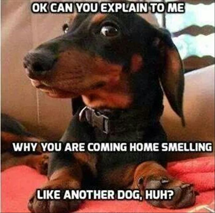 funny meme dachshund smelling another dog