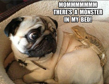 funny pug meme amazing
