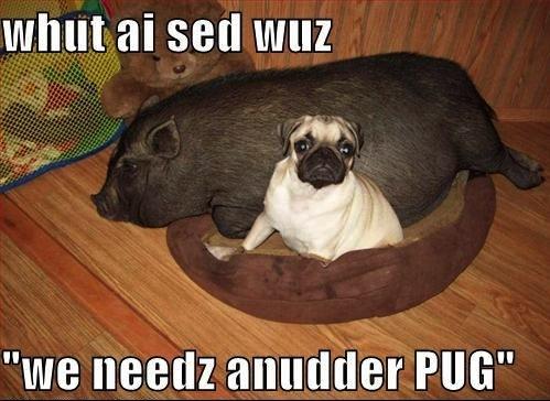 funny pug pig meme