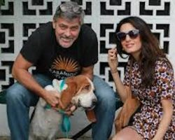 Basset Hound Who Was Starving In The Streets Adopted By George And Amal Clooney