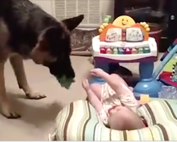 Just Look At The German Shepherd's Mouth. The Baby Can't Stop Giggling!