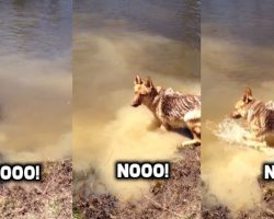 German Shepherd Dog Throws The Funniest Tantrum After She's Told To Stop Swimming