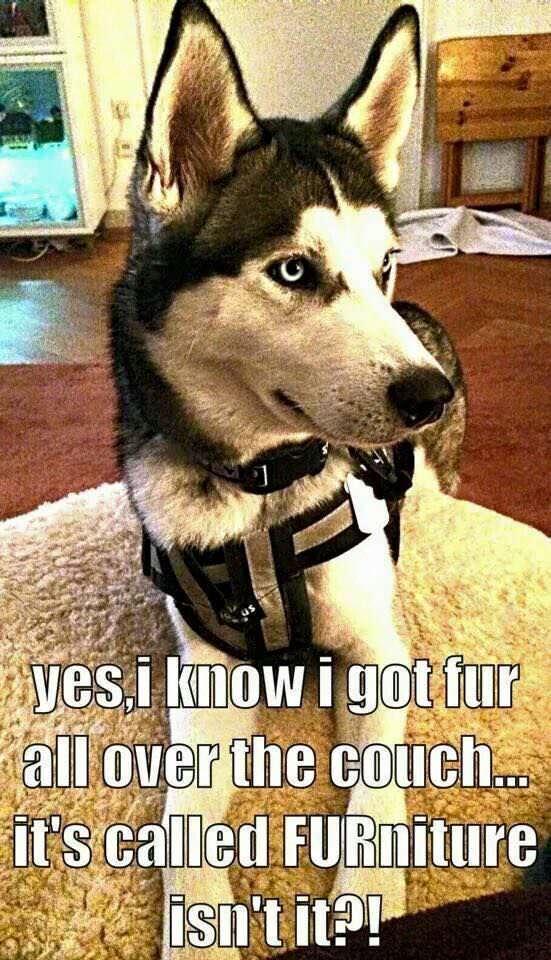 husky fur meme funny