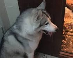 Husky Home Alone Makes An Epic Mess That His Family Won't Ever Forget