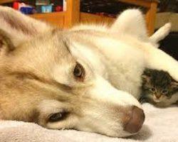 Husky's Motherly Love Saves Homeless Kitten's Life