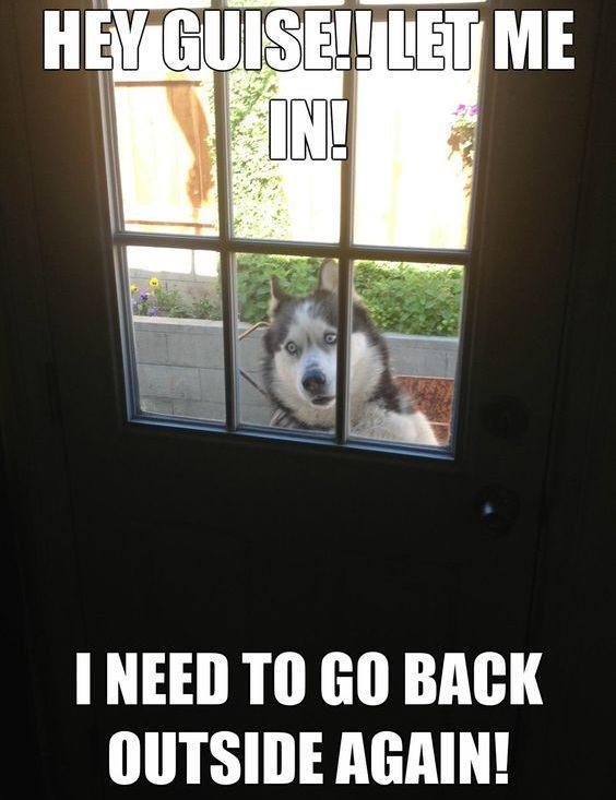 husky meme funny