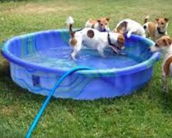 Jack Russell Terriers Adorably Battle Garden Hose