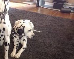 Adorable Foster Kitten Copies Everything The Big Dogs Do