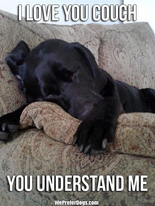 labrador love couch meme