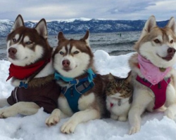 Three Huskies Are Best Friends With Cat They Helped Save From Dying