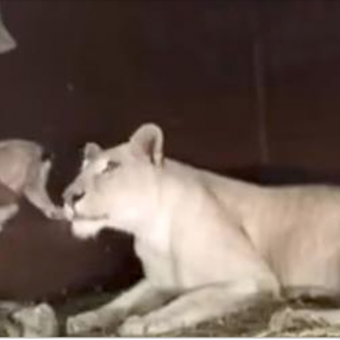 Lioness has just given birth to a baby cub. Now watch when the man tries to pick the cub up