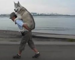 Man Gives His Husky A Piggyback Ride When She Gets Tired On Their Walk