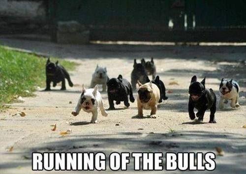 many french bulldogs meme
