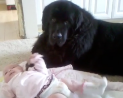 You Won't Find A Better Babysitter Than This Newfoundland – Watch What He Does