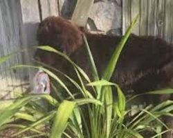 A Giant Newfoundland Puppy Tried To Hide From His Parents And Hilariously Failed