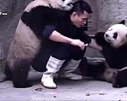 A Man Tries To Give Pandas Their Medicine, But They Would Rather Play