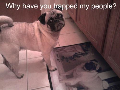 pug trapped meme