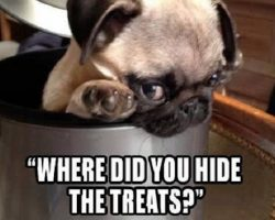18 Best Pug Memes of All Time