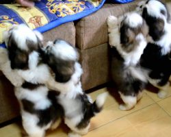 Shih Tzu Puppies After Their First Bath