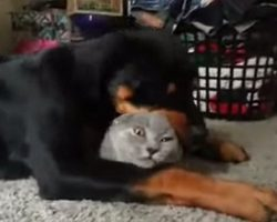 Cat Befriends Rottweiler And Gets More Than He Bargained For