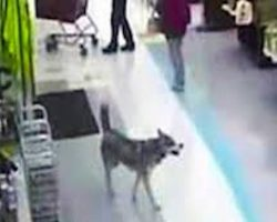 Husky Caught On Security Cameras Stealing Her Own Christmas Present From Grocery Store