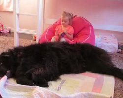 How This Giant Newfoundland Reacts To The Little Girl? Oh My Goodness!