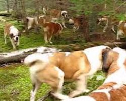 Just A Lovely Walk In The Woods With 42 St. Bernards