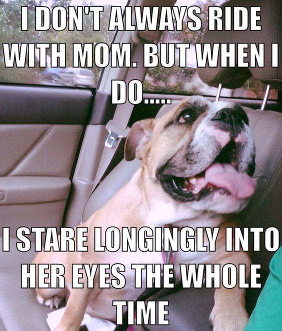 staring english bulldogs pics dog