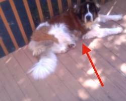 Stubborn Saint Bernard Doesn't Wanna Come Inside
