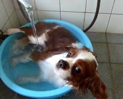This Cavalier King Charles Spaniel LOVES The Bath!
