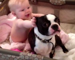 What This Boston Terrier Does With The Baby Is Something You HAVE To See