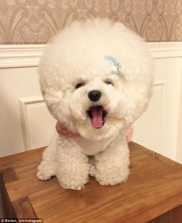 Style: Some of Tori's Instagram followers have compared the dog's do to an afro