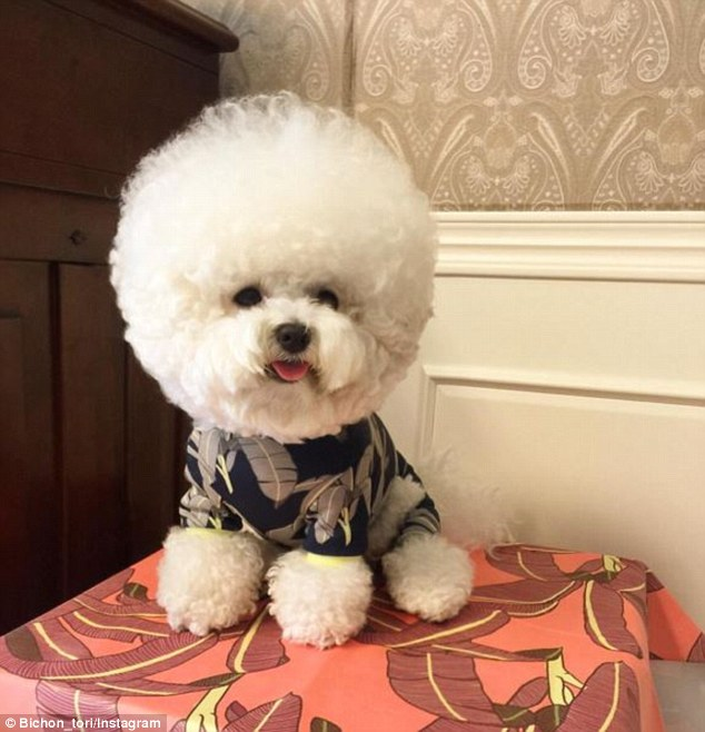 Individual: Bichon's tails are often left to grow long and then groomed, but it is unusual for the dog's hair to be so long