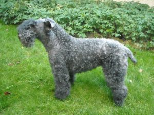 kerry_blue_terrier_062009