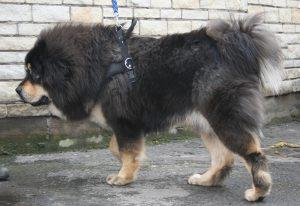 mastif_tybetanski_2009_pl2